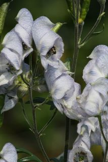 Eisenhut 'Stainless Steel' - Aconitum x cammarum 'Stainless Steel'
