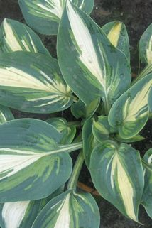 Funkie 'Timeless Beauty' - Hosta x tardiana 'Timeless Beauty'