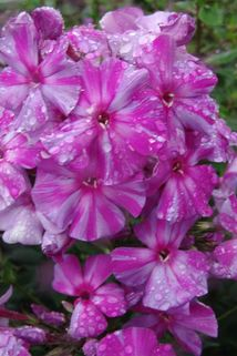 Hohe Flammenblume 'Autumn Joy' - Phlox paniculata 'Autumn Joy'