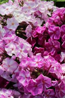 Hohe Flammenblume 'Freckles Purple Shades' - Phlox paniculata 'Freckles Purple Shades'