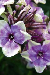Hohe Flammenblume 'Mike's Choice' - Phlox paniculata 'Mike's Choice'