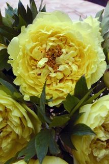 Halbstrauchige Pfingstrose 'Yellow Crown' - Paeonia Itoh-Hybride 'Yellow Crown'