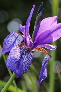 Bartlose Wiesen-Schwertlilie - Iris sibirica