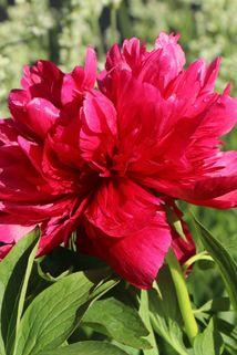 Bauerngarten-Pfingstrose 'Rubra Plena' - Paeonia officinalis 'Rubra Plena'