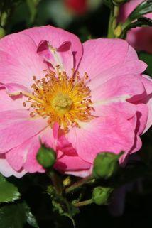 Beetrose 'Bienenweide' ® (rosa) - Rosa 'Bienenweide' ® (rosa)