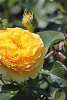 Beetrose 'Inka' ® - Rosa 'Inka' ®