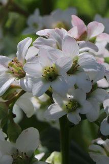 Bergenie 'Bressingham White' - Bergenia cordifolia 'Bressingham White'