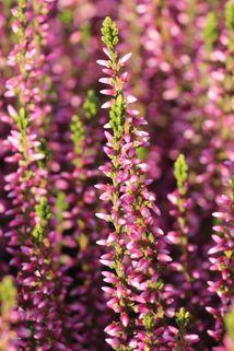 Sommerheide / Besenheide GardenGirls ® 'Gina' -S- - Calluna vulgaris GardenGirls ® 'Gina' -S-