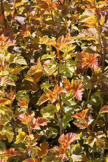 Blasenspiere 'Amber Jubilee' ® - Physocarpus opulifolius 'Amber Jubilee' ®