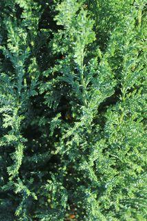 Blaue Kegelzypresse 'Ellwoodii' / Mooszypresse / Scheinzypresse - Chamaecyparis lawsoniana 'Ellwoodii'