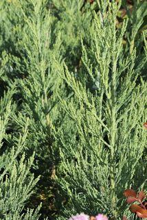 Blauer Mammutbaum 'Glaucum' - Sequoiadendron giganteum 'Glaucum'