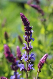 Blüten-Salbei 'Bordeaux Steel Blue' - Salvia nemorosa 'Bordeau Steel Blue'