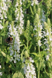 Blüten-Salbei 'Compact White' - Salvia nemorosa 'Compact White'