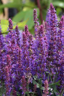 Blüten-Salbei 'Ostfriesland Kompakt' - Salvia nemorosa 'Ostfriesland Kompakt'
