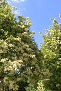 Blumenesche, Mannaesche - Fraxinus ornus