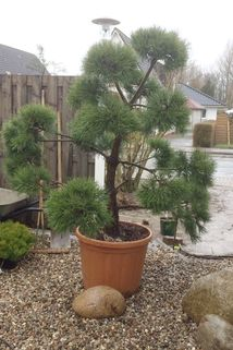 Waldkiefer / Bonsai Kiefer - Pinus sylvestris