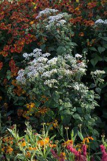 Braunblättriger Wasserdost 'Braunlaub' - Eupatorium rugosum 'Braunlaub'