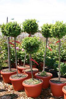 Buchsbaum Stämmchen - Buxus sempervirens Stämmchen