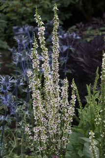 Chaixs Königskerze 'Wedding Candles' - Verbascum chaixii f. album 'Wedding Candles'
