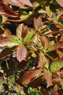 Chinesischer Tupelobaum - Nyssa sinensis