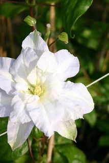 Clematis 'Chalcedony' - Clematis 'Chalcedony'