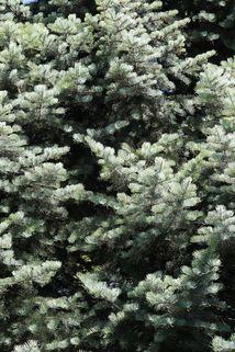 Colorado-Tanne/Grautanne - Abies concolor