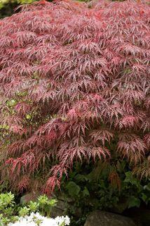 Dunkelroter Schlitzahorn 'Dissectum Ornatum' - Acer palmatum 'Ornatum'