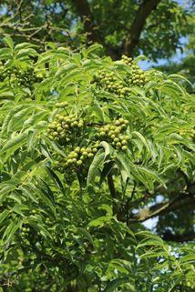 Echter Korkbaum - Phellodendron amurense