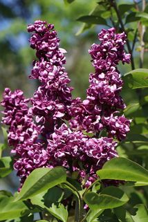 Edelflieder 'Charles Joly' - Syringa vulgaris 'Charles Joly'
