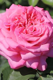 Edelrose 'Ashley' ® - Rosa 'Ashley' ®