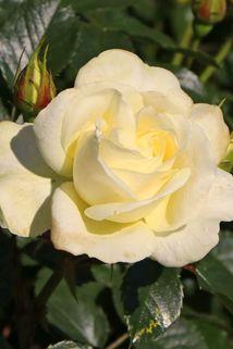 Edelrose 'Avec Amour' ® - Rosa 'Avec Amour' ®