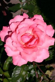 Edelrose 'Brinessa' ® - Rosa 'Brinessa' ®