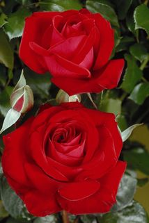 Edelrose 'Red Brokat' ® - Rosa 'Red Brokat' ®