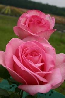 Edelrose 'Sweet Parole' ® - Rosa 'Sweet Parole' ®