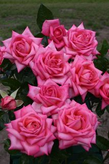 Edelrose 'Wedding Bells' ® - Rosa 'Wedding Bells' ®