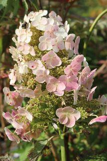Eichenblättrige Hortensie 'Snow Queen' - Hydrangea quercifolia 'Snow Queen'