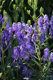 Eisenhut 'Blue Lagoon' - Aconitum x cammarum 'Blue Lagoon'