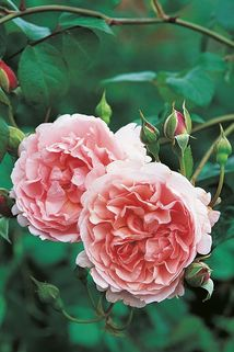 Englische Rose 'Strawberry Hill' - Rosa 'Strawberry Hill'