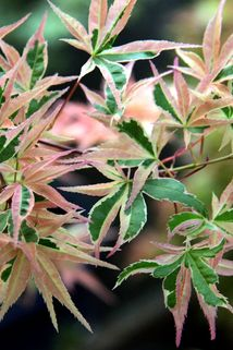 Fächer-Ahorn 'Beni shishi henge' - Acer palmatum 'Beni shishi henge'