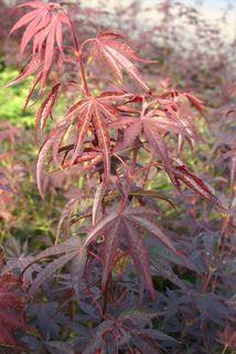 Fächer-Ahorn 'Hessei' - Acer palmatum 'Hessei'