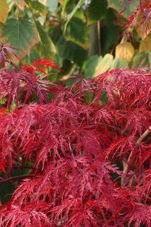 Fächer-Ahorn 'Inaba shidare' - Acer palmatum 'Inaba shidare'
