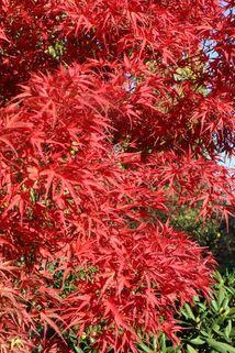 Fächer-Ahorn 'Kamagata' - Acer palmatum 'Kamagata'