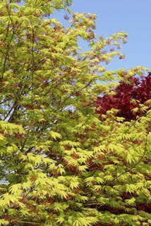 Fächer-Ahorn 'Ki hachijo' - Acer palmatum 'Ki hachijo'