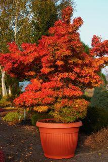 Fächer-Ahorn 'Mikawa yatsubusa' - Acer palmatum 'Mikawa yatsubusa'