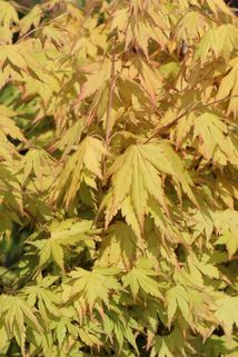 Fächer-Ahorn 'Orange Dream' - Acer palmatum 'Orange Dream'