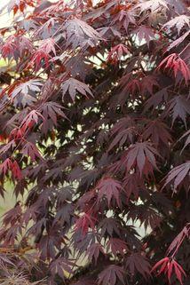 Fächer-Ahorn 'Yasemin' - Acer shirasawanum 'Yasemin'