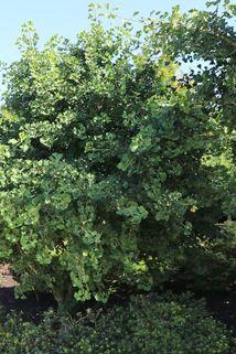 Fächerblattbaum 'Globus' - Ginkgo biloba 'Globus'