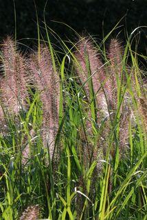Federborstengras 'Cassian' - Pennisetum alopecuroides 'Cassian'
