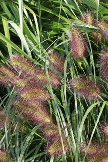 Federborstengras 'Herbstzauber' - Pennisetum alopecuroides 'Herbstzauber'