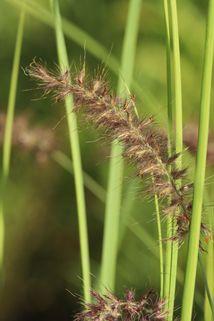 Federborstengras 'Tall Tails' - Pennisetum orientale 'Tall Tails'